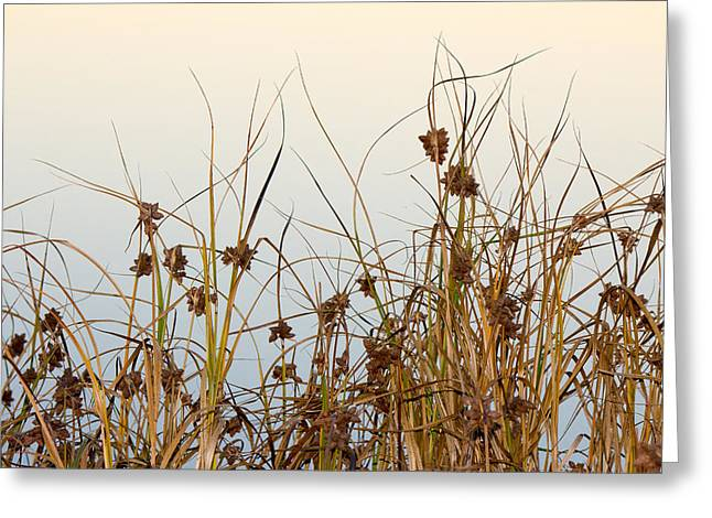 Recently Sold -  - Marin County Greeting Cards - Salt Marsh Bulrush reeds against the water Greeting Card by Glen Laughton