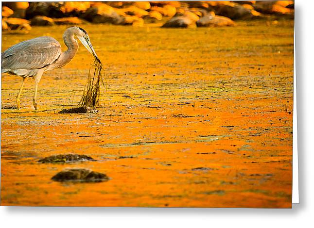 Big Blue Marble Greeting Cards - Salt River Heron Greeting Card by Kelly Gibson