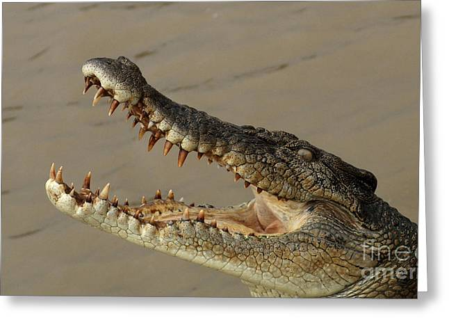 Salt Water Crocodile 1 Greeting Card by Bob Christopher