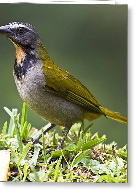 Square_format Greeting Cards - Saltator maximus Greeting Card by Heiko Koehrer-Wagner