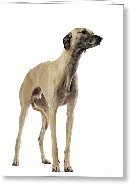 Saluki Greeting Cards - Saluki Dog Greeting Card by Jean-Michel Labat