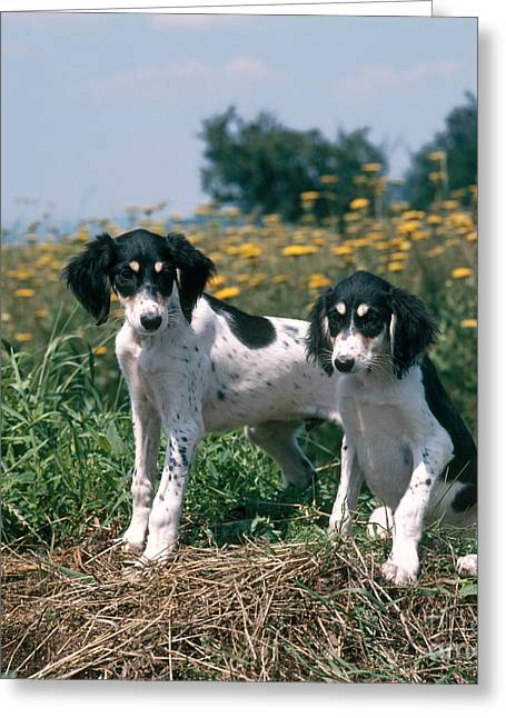 Bred Greeting Cards - Saluki Dogs Greeting Card by Hans Reinhard