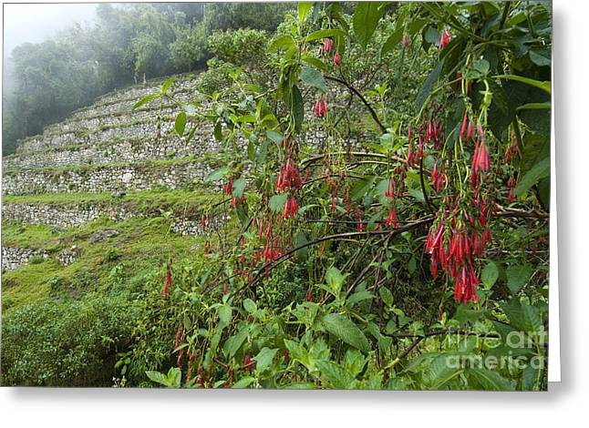Forever Young Greeting Cards - Salvia At Peruvian Inca Ruins Greeting Card by William H. Mullins