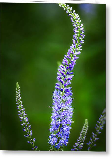 Salvia Greeting Card by Bill Wakeley