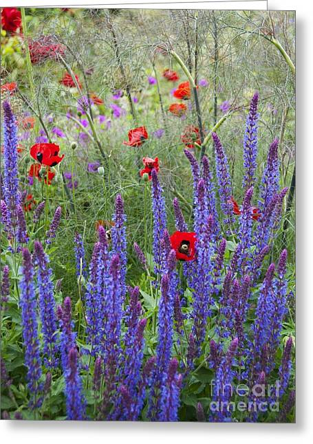 Biology Greeting Cards - Salvia Sp. And Papaver Sp Greeting Card by Carol Casselden