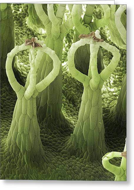 \salvinia Effect\ Of Salvinia Natans Greeting Card by Power And Syred