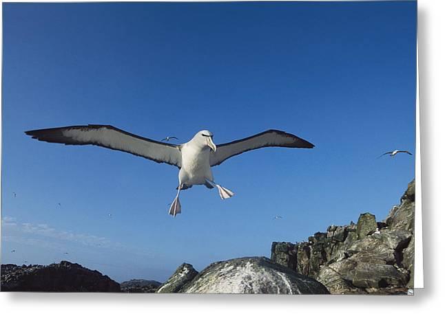 Salvins Albatrosses Bounty Islands Greeting Card by Tui De Roy