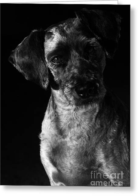 Cute Schnauzer Greeting Cards - Sam Greeting Card by Larry Ricker