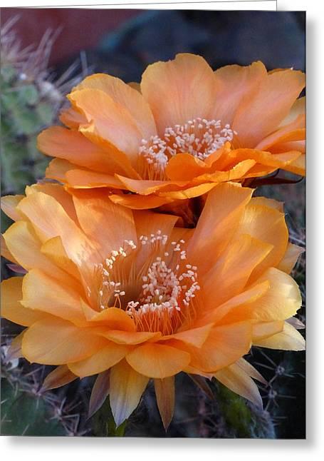 Cactus Southwest Cactus Flower Orange Wildflowers Nature Arizona Greeting Cards - Samantha Smith Beauties Greeting Card by Cindy McDaniel