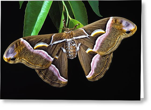 Samia Cynthia Silk Moth Greeting Card by Robert Jensen