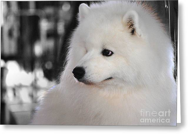 Dog Photo Greeting Cards - Samoyed Greeting Card by Jai Johnson