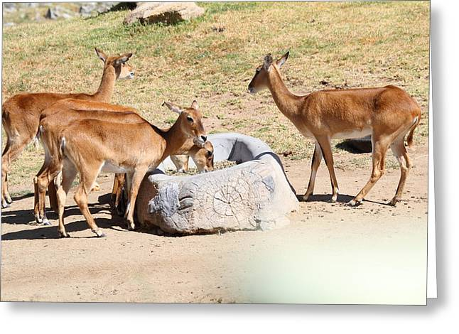 California Greeting Cards - San Diego Zoo - 1212102 Greeting Card by DC Photographer