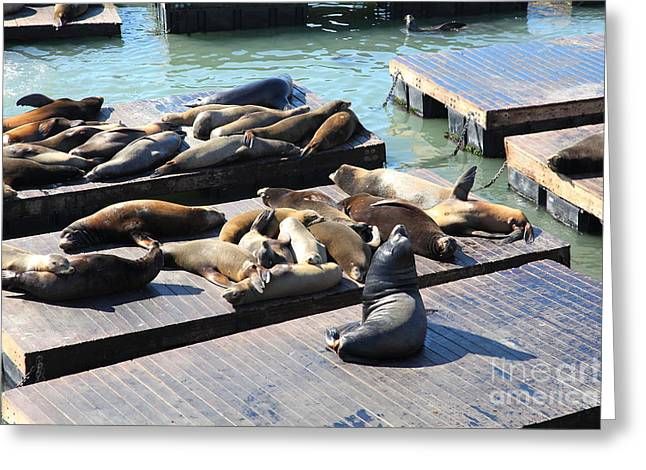 San Francisco Pier 39 Sea Lions 5D26113 Greeting Card by Wingsdomain Art and Photography