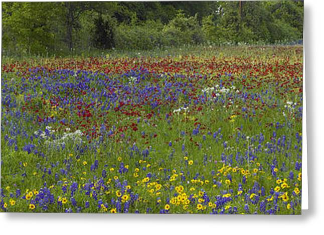 Tickseed Greeting Cards - Sand Bluebonnet  Drummonds Phlox Greeting Card by Tim Fitzharris
