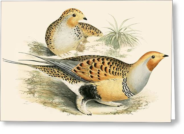 Hunting Bird Greeting Cards - Sand Grouse Greeting Card by Beverley R. Morris