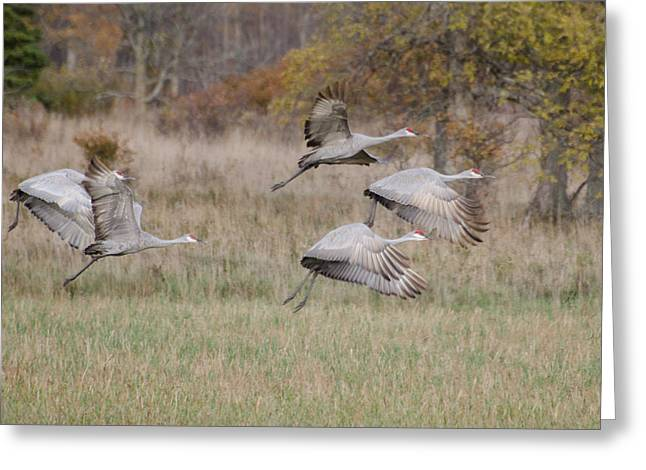 Flying Bird Pyrography Greeting Cards - Sand Hill Cranes  Greeting Card by Tom Spencer