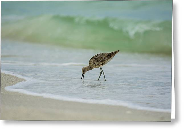 My Ocean Greeting Cards - Sand Piper Eating Greeting Card by Kevin Cable