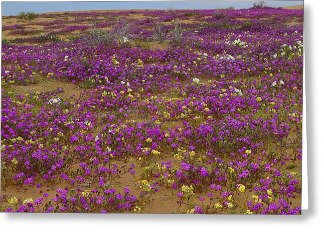 Nyctaginaceae Greeting Cards - Sand Verbena Imperial Sand Dunes Greeting Card by Tim Fitzharris