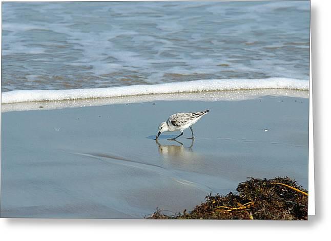 Shorebird Greeting Cards - Sanderling Greeting Card by Bill Morgenstern