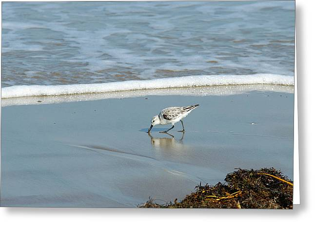 Shorebirds Greeting Cards - Sanderling Greeting Card by Bill Morgenstern