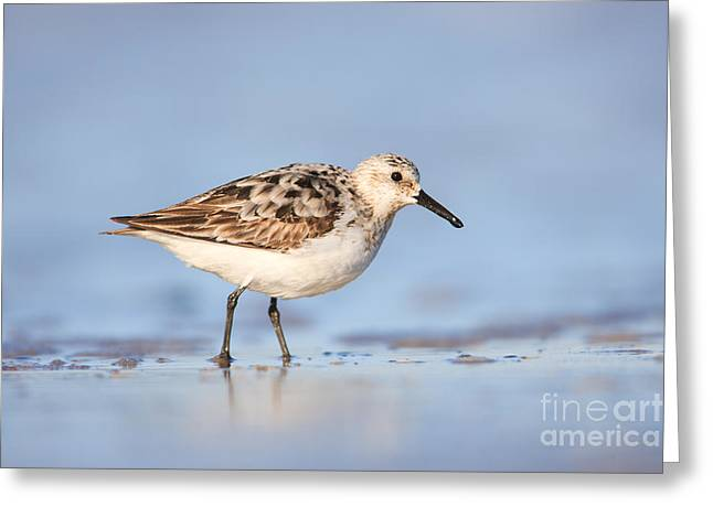 Sanderling Greeting Card by Clarence Holmes