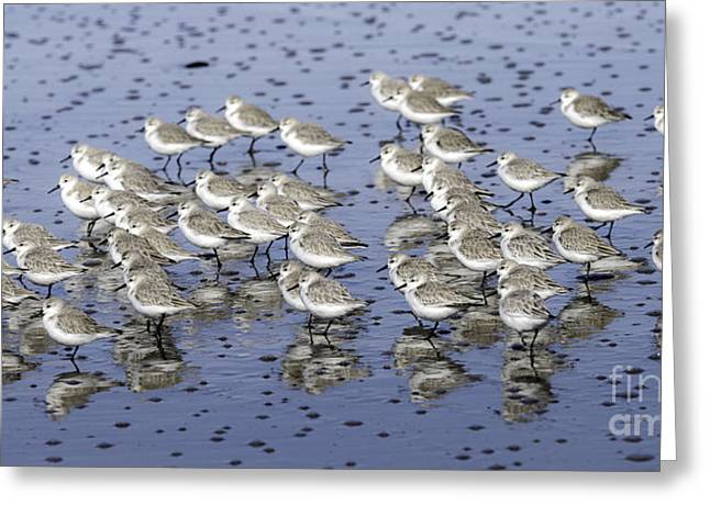 Tim Moore Greeting Cards - Sanderling Gathering Greeting Card by Tim Moore
