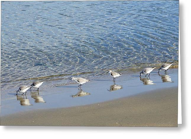 Seabirds Greeting Cards - Sanderlings Greeting Card by Digby  Merry