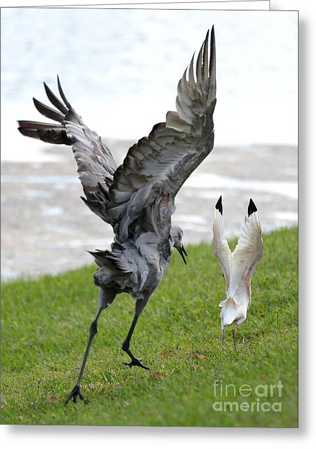 Ibis Greeting Cards - Sandhill Chasing Ibis Greeting Card by Carol Groenen