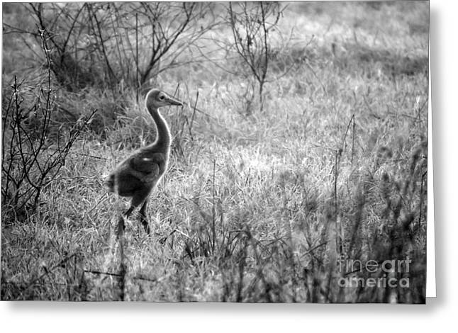 Sandhill Cranes Greeting Cards - Sandhill Chick in the Marsh - Black and White Greeting Card by Carol Groenen