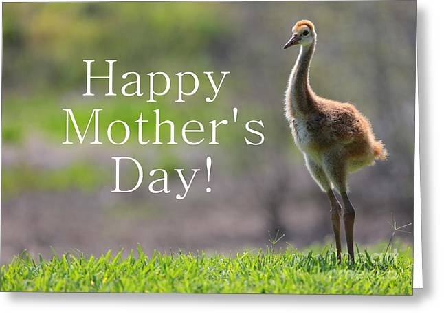 Sandhill Cranes Greeting Cards - Sandhill Chick Mothers Day Card Greeting Card by Carol Groenen
