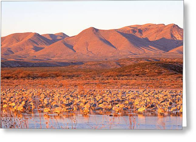 Sandhill Crane Greeting Cards - Sandhill Crane, Bosque Del Apache, New Greeting Card by Panoramic Images