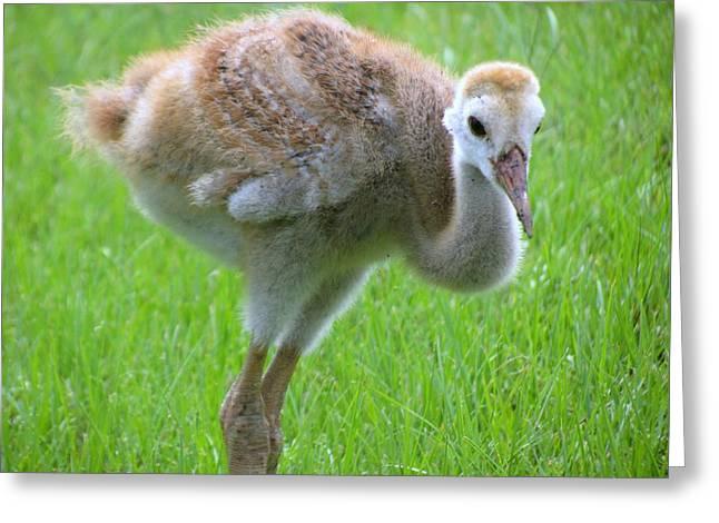 Sandhill Crane Greeting Cards - Sandhill crane chick I Greeting Card by Zina Stromberg