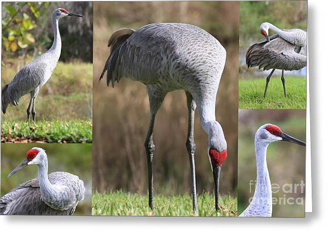 Sandhill Cranes Greeting Cards - Sandhill Crane Collage Greeting Card by Carol Groenen