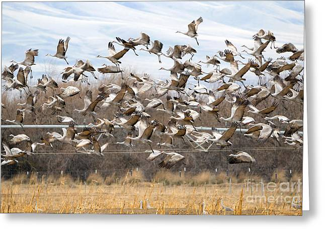 Sandhill Crane Explosion Greeting Card by Mike Dawson