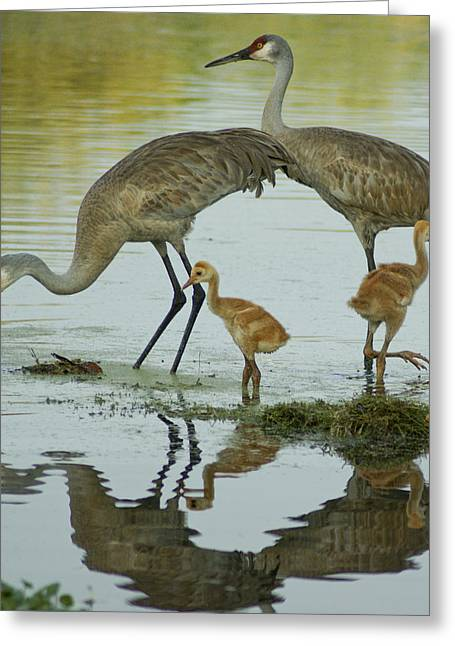 Pond In Park Greeting Cards - Sandhill Crane Family Greeting Card by Brian Kamprath