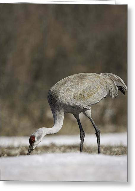 Sandhill Cranes Greeting Cards - Sandhill Crane Foraging In The Snow Greeting Card by Thomas Young