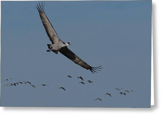 Monte Vista Greeting Cards - Sandhill crane in flight Greeting Card by Darlene Grubbs