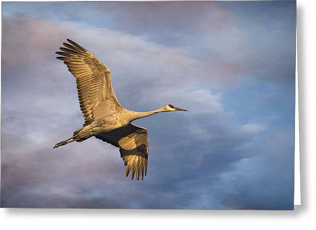 Winter Night Greeting Cards - Sandhill Crane in Flight Greeting Card by Priscilla Burgers