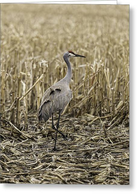 Sandhill Cranes Greeting Cards - Sandhill Crane In The Corn Greeting Card by Thomas Young