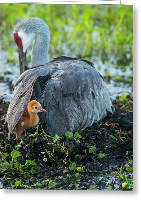 Sandhill Crane On Nest With Colt Greeting Card by Maresa Pryor