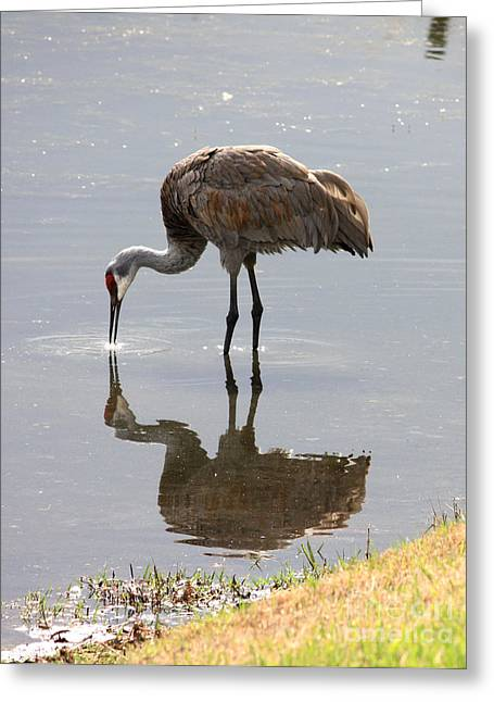 Sandhill Cranes Greeting Cards - Sandhill Crane on Sparkling Pond Greeting Card by Carol Groenen