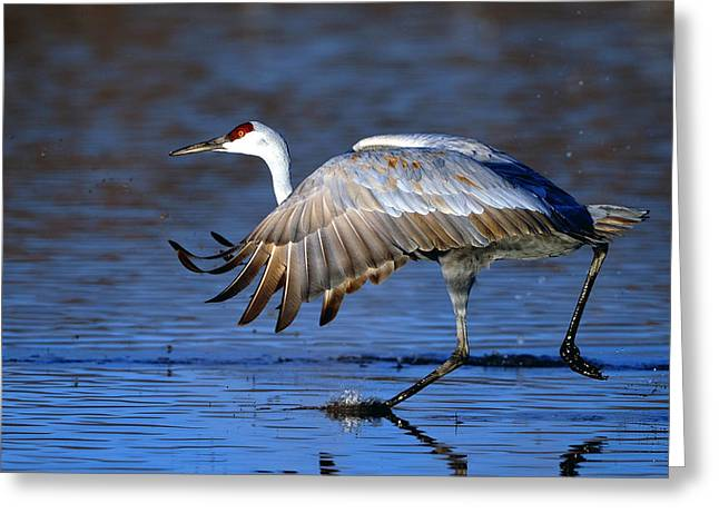 Sandhill Cranes Greeting Cards - Sandhill crane Greeting Card by Thanh Nguyen
