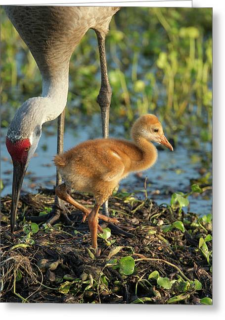 Sandhill Crane With Both Colt On Nest Greeting Card by Maresa Pryor