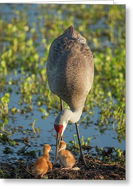 Sandhill Crane With Both Colts, Grus Greeting Card by Maresa Pryor