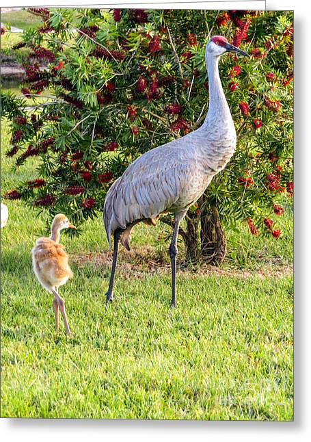Crane Greeting Cards - Sandhill crane Greeting Card by Zina Stromberg