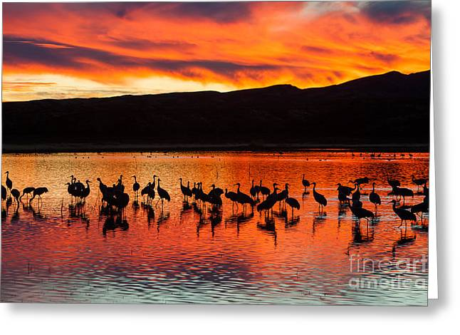 Wildlife Refuge. Greeting Cards - Sandhill Cranes at Sunset Greeting Card by Clarence Holmes
