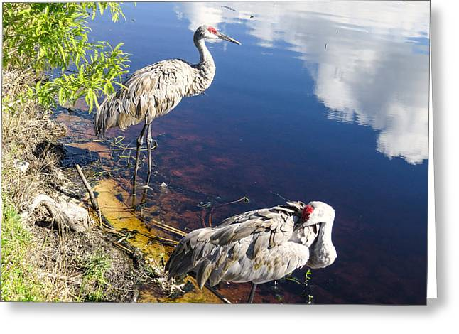 Crane Greeting Cards - Sandhill cranes at the lake Greeting Card by Zina Stromberg