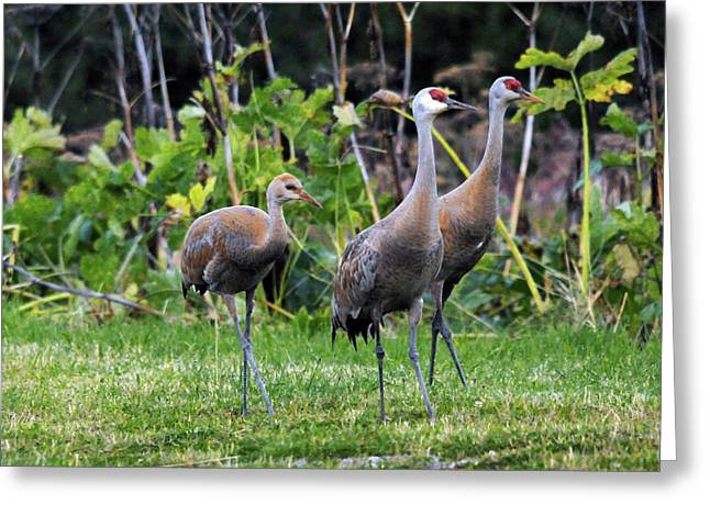 Sandhill Cranes Feeding Behind Wasabi Greeting Card by Michel Hersen