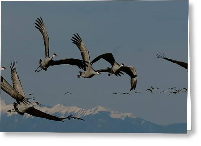 Monte Vista Greeting Cards - Sandhill Cranes Flying Greeting Card by Darlene Grubbs