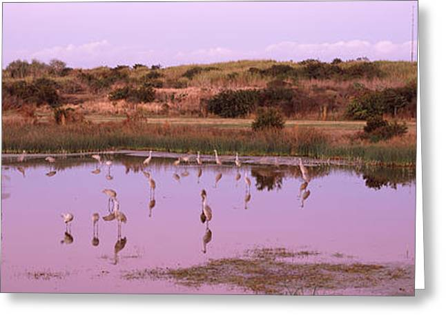 Reflections Of Sky In Water Greeting Cards - Sandhill Cranes Grus Canadensis Greeting Card by Panoramic Images